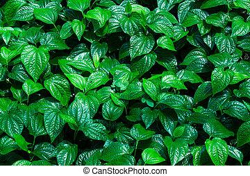 Piper sarmentosum or Chaplo healthy vegetables thai herb ...