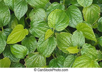 Piper sarmentosum Roxb has leaf blight use as texture or ...