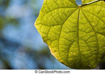 Piper sarmentosum Roxb leave - Light is shining through a ...