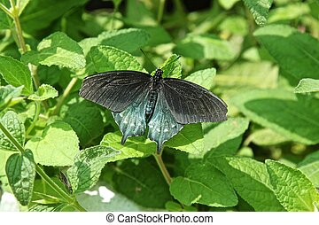 Pipevine Swallowtail Butterfly or Blue Swallowtail or Battus...