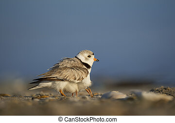 Baby Piping Plover chicks hide underneath of an adult trying to stay safe on a sandy beach one sunny morning.
