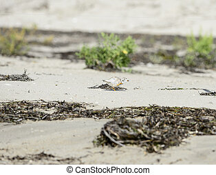 Piping Plover pause