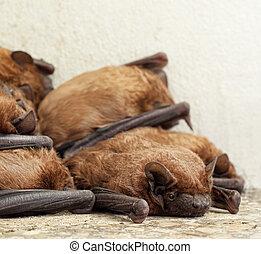 pipistrello, colonia