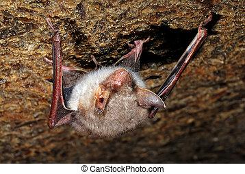 pipistrello, in, loro, naturale, habitat