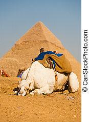 pirámide, camello, el cairo, giza, blanco, triste