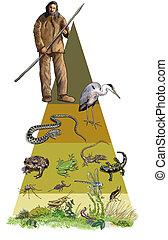 pirámide, ecológico, reptils, anfibios