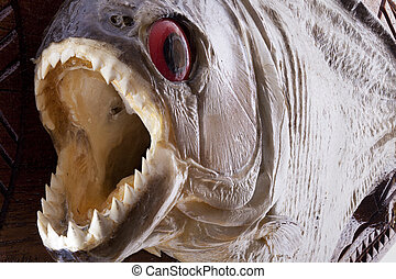 Piranha fish close up with mouth wide open and sharp teeth