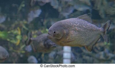 Piranha fish in huge aquarium