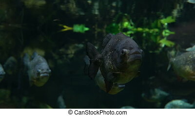 Piranha fish swim underwater in tropical rainforest river. A...