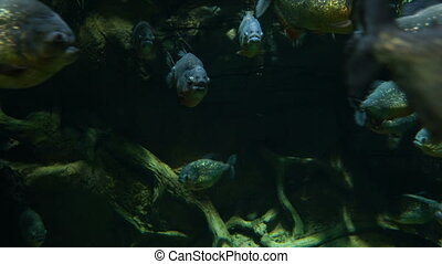 Piranha fish swim underwater in tropical rainforest river.