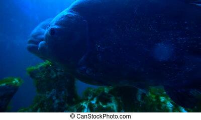 Piranha fishes in blue water in aquarium in the zoo