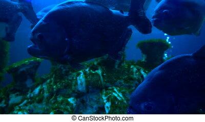 Piranha fishes in blue water in aqurium