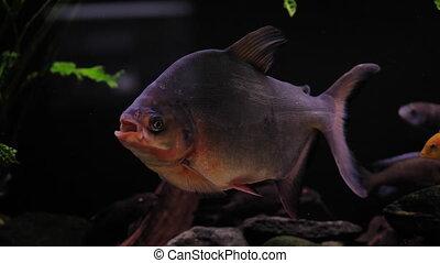 piranha in fish tank - Tropical piranha fish in a freshwater...