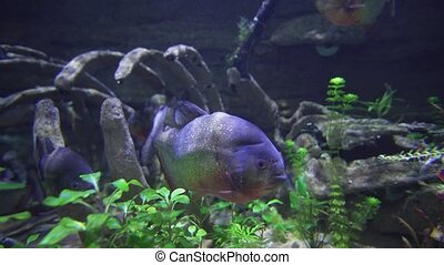 Piranhas are floating in freshwater aquarium stock footage...