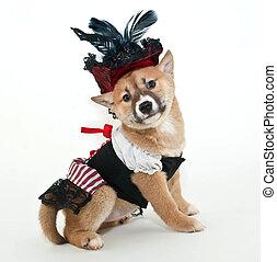 Pirate Puppy. - Little Shiba Inu puppy dressed up in a...