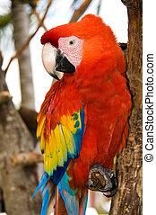 piros, papagáj