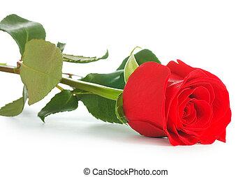 piros rózsa, elszigetelt, white, háttér