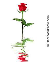piros rózsa, kifejez in, víz, elszigetelt, képben látható, egy, fehér, háttér.