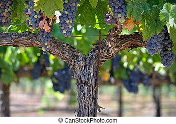 piros szőlő, képben látható, a, szőlőtőke, alatt, napa völgy