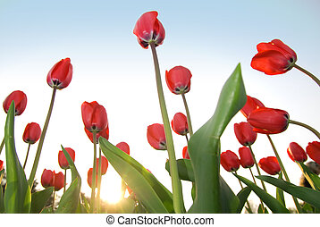 piros, tulipánok, ellen, kék ég