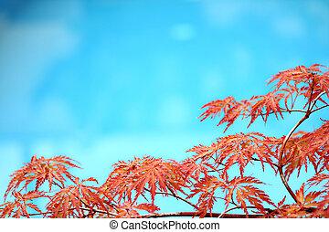 piscine, acer, arbre, japonicum, fond