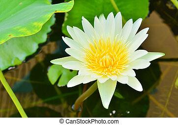 piscine, lotus, blanc