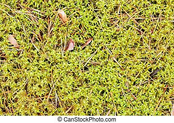 piso, -, textura, sphagnum, agujas, bosque verde, musgo, pino