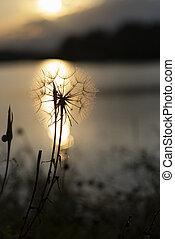 pissenlit, coucher soleil