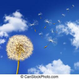 pissenlit, graines, souffler dans vent