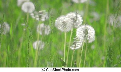 pissenlits, mouvement, lent, naturel, sélectif, nature, printemps, pelucheux, pissenlits, , brouillé, foyer., champ, concept, vert, style de vie, fond, vidéo, blanc