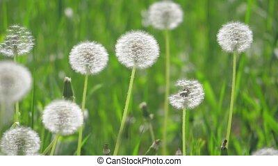 pissenlits, mouvement, lent, naturel, sélectif, nature,...