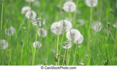 pissenlits, mouvement, lent, naturel, sélectif, nature, printemps, pelucheux, pissenlits, , vert, brouillé, foyer., champ, concept, vidéo, fond, style de vie, blanc