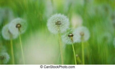 pissenlits, mouvement, lent, naturel, sélectif, nature, printemps, pelucheux, pissenlits, vert, brouillé, foyer., champ, concept, vidéo, style de vie, fond blanc