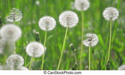 pissenlits, mouvement, lent, style de vie, sélectif, nature, printemps, pelucheux, pissenlits, naturel, brouillé, foyer., champ, concept, arrière-plan vert, vidéo, blanc
