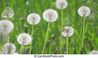 pissenlits, style de vie, concept, naturel, foyer., nature, lent, pelucheux, mouvement brouillé, champ, sélectif, vidéo, fond, printemps, blanc vert