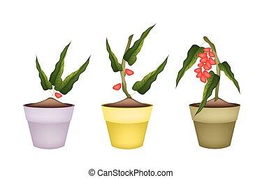 Pistachio Nuts on Tree in Ceramic Flower Pots