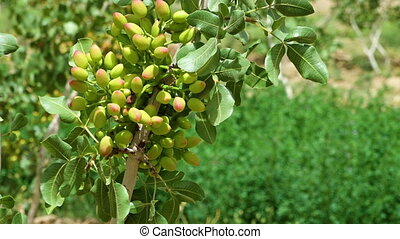 Pistachio nuts on trees - A close up scenic shot of...