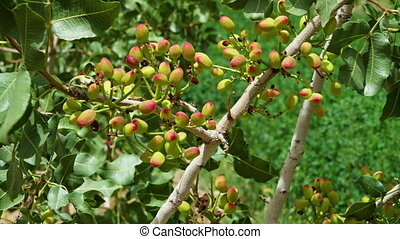 Pistachio nuts on trees - A medium steady scenic shot of...