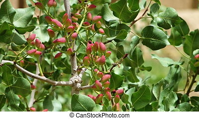 Pistachio nuts on trees - A zoomed in steady scenic shot of...