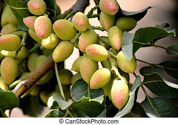Pistachio tree. - Pistachio nuts on green leaves on the...