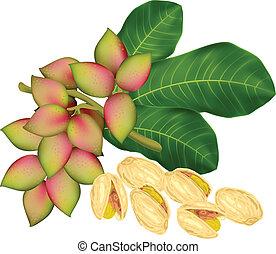 pistacho, ramita, fruits.