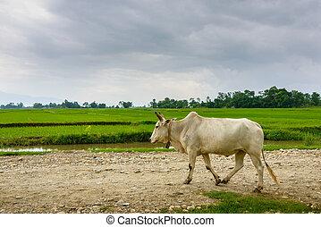 piste, népal, vache, rural