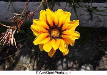 pistilos, flores, sus, con, amarillas