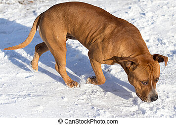 pit bull dog in snow
