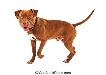 Pit Bull Dog Walking - Pit Bull dog walking against a white ...