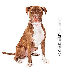 Pit Bull Dog Wearing Pink Collar - A pretty female Pit Bull ...