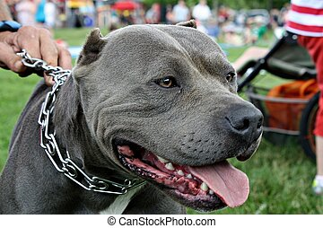 Pit bull - Gray pitbull dog - close-up of his face.