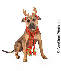 Pit Bull Mix Breed Dog Wearing Christmas Antlers - A festive...