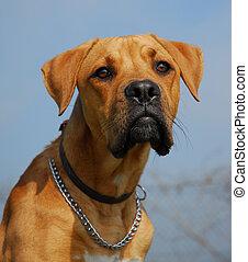 pit bull - purebred pit bull dog