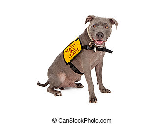 A happy blue Pit Bull dog wearing a yellow search and rescue vest